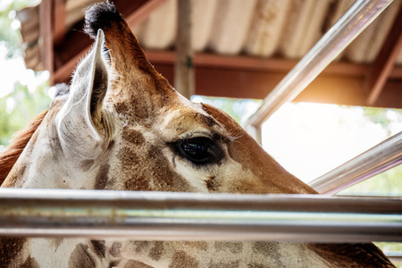 Giraffe in a zoo with depressed of eyes.
