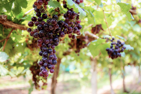Grapes on tree with the sunlight in vineyard. Banque d'images - 122272877