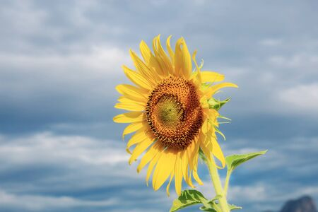 Sunflower with the blue sky in summer.