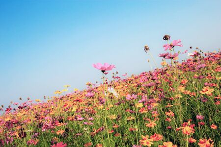 Cosmos in field with the colorful at blue sky. Stok Fotoğraf