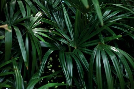 Green leaves of palm in forest with background.