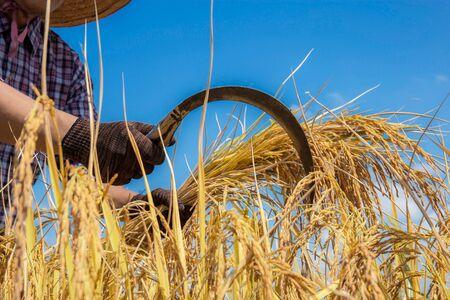 Bauer hält eine Sichel, die im Feld am blauen Himmel erntet.