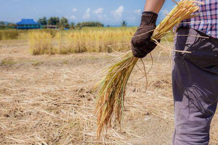 Bauern stehen und halten Körner auf den Reisfeldern.