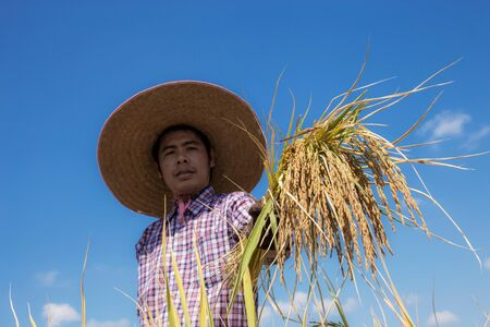 Farmers offered their ears in rice field with the blue sky.
