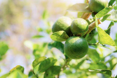Limón en árbol en la granja a la luz del sol.