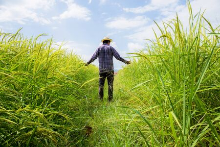 Farmer in rice field with sunlight at the blue sky.