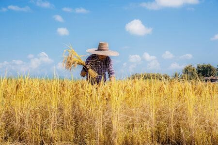 Farmers are harvesting rice in fields with the blue sky. 版權商用圖片