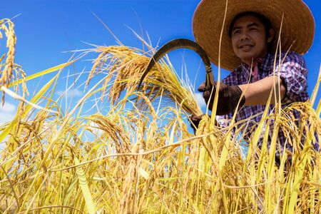 Farmers are harvesting rice with the sky at sunlight.