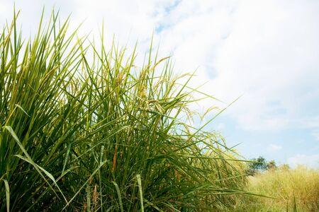 Rice on field with the sunlight at sky. 版權商用圖片