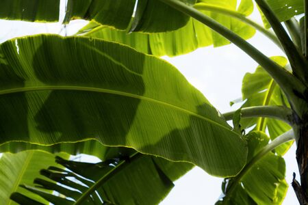 Leaves of banana on tree with the sky.