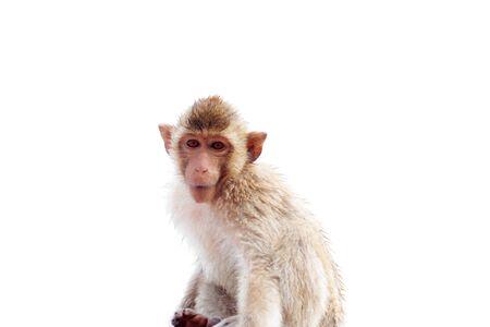 Monkey of baby on white background.