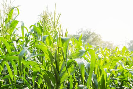 Corn growing in the countryside at sunlight.