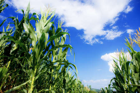 Corn tree with the sunlight at bue sky. 写真素材