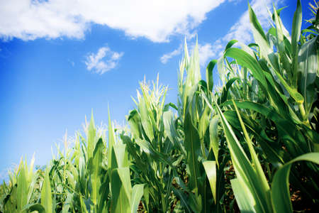 Corn tree in farm with the sunlight at bue sky. 写真素材