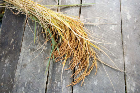 Ears of rice harvested on the old wood floor in field.