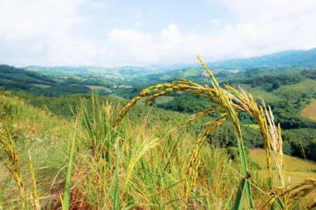Ears of rice growing in fields on hill. 写真素材
