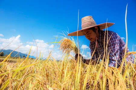 Farmers harvesting rice on the rice field with the blue sky. Stock Photo
