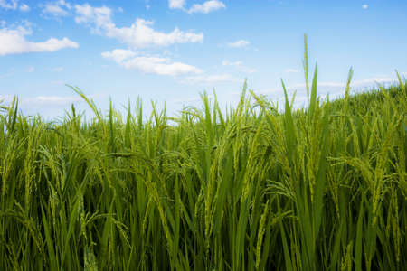 Green rice in field with the blue sky.