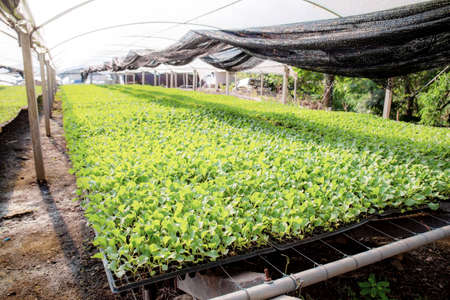 Organic farming of seedlings growing in greenhouse with sunlight. 写真素材