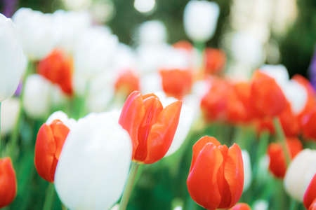 Red and white of tulip in park with color background. 写真素材