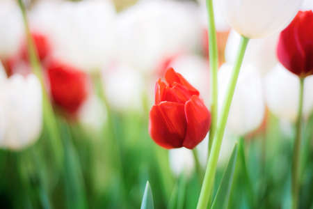 Red and white of tulip in park with natural background.
