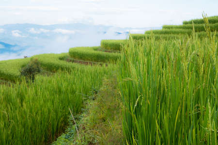 Rice field on hill in the spring with sky.