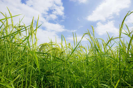 Rice on field is spreading over the sky during the rainy season. 写真素材