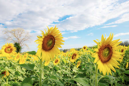 Sunflower on field with the blue sky in winter. 写真素材
