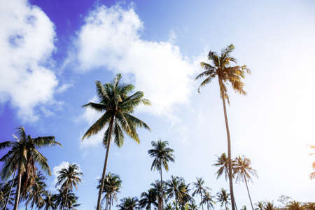 Coconut tree at blue sky with the sunlight.