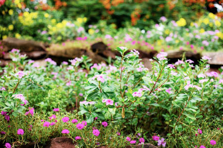 Colorful flower on plantation in garden with green background.