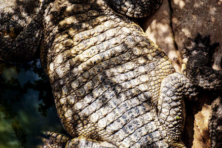 Crocodile in farm with texture background. 写真素材