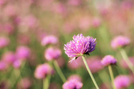 Purple of head flower with sunrise in the winter. 写真素材
