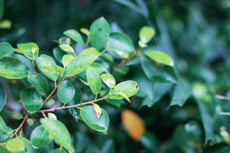 Leaves tree in garden with natural of background. 写真素材
