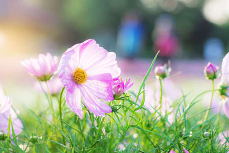 Pink cosmos with sunrise in the winter.