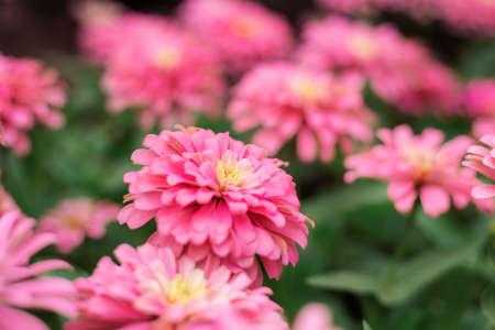 Pink flower on plantation in garden with green background. 写真素材
