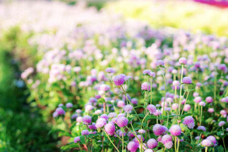 Purple of head flower on plantation with sunrise in the winter. 写真素材