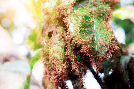 Many ant are nesting on big trees. Standard-Bild