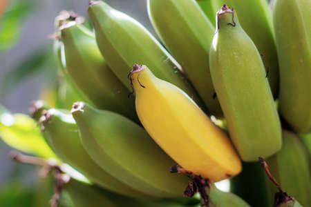 Ripe and raw of banana with the sunlight.
