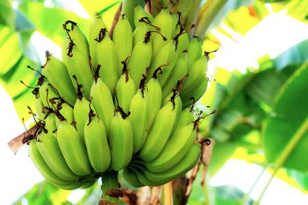 Raw banana on tree with the sunlight in farm. Standard-Bild