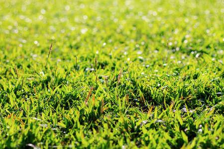 Grass on lawn with the sunlight. Standard-Bild