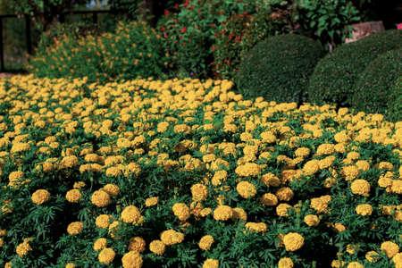 Marigold flower with beautiful in the garden. Standard-Bild