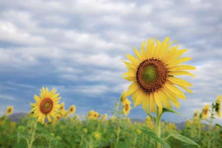 Sunflower on field with the blue sky in winter. Standard-Bild