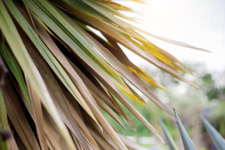 Leaves palm of dry in park with sunlight at sky background.