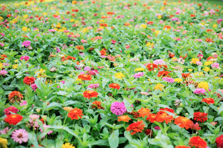 Colorful of flower in  garden with background.