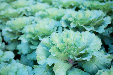 Lettuce on plantation in farm with the sunlight.