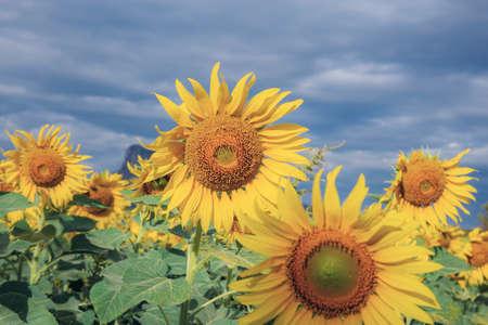 Sunflower in field with the blue sky in winter. Standard-Bild
