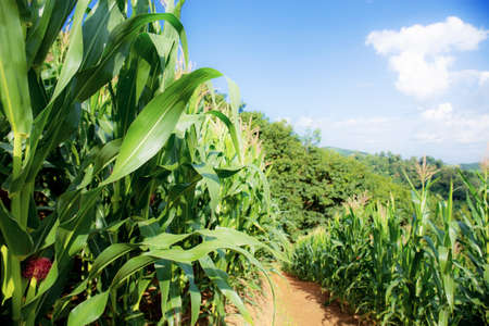 Corn tree on field in spring with the sunlight at blue sky. Standard-Bild
