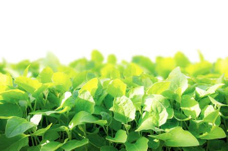 Organic vegetables are growing on plot with isolated background.