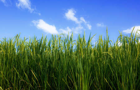 Green rice on field with the blue sky.