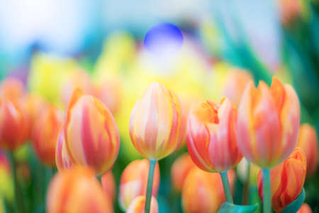 Orange of tulip in garden with the colorful.